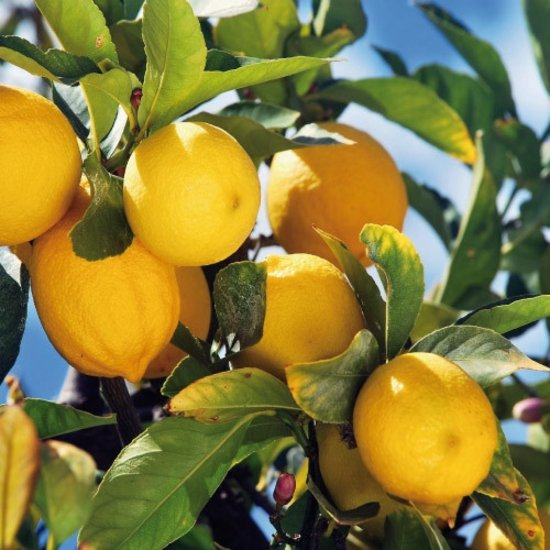 Lemon Tree Inetrior